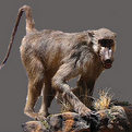 Baboon Full Mount