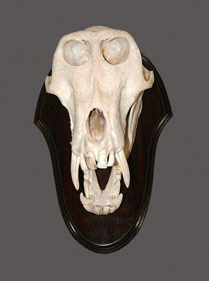 Baboon Skull Mount