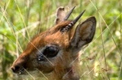 Bate's Pygmy Antelope