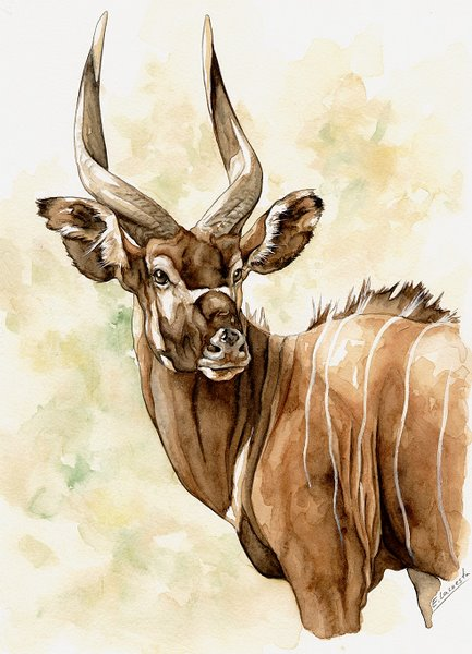 Bongo Watercolor