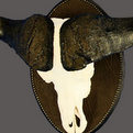 Cape Buffalo Shield Mount
