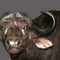 Cape Buffalo Wall Pedestal Mount