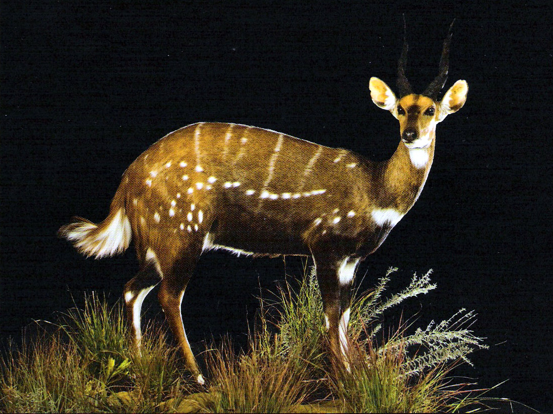 Bushbuck Full Mount