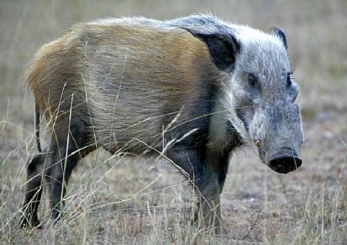 Bushpig Boar