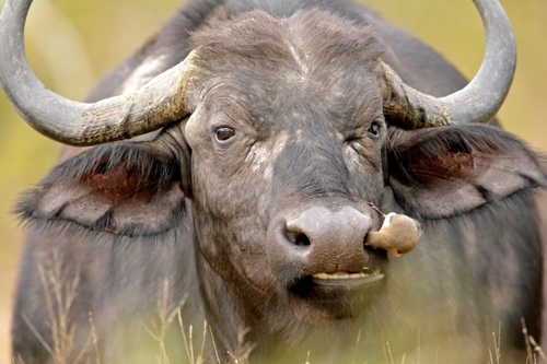 Cape Buffalo Cow
