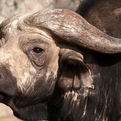 Old Cape Buffalo