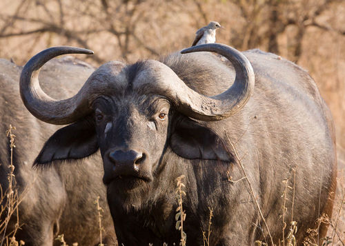 Young Cape Buffalo