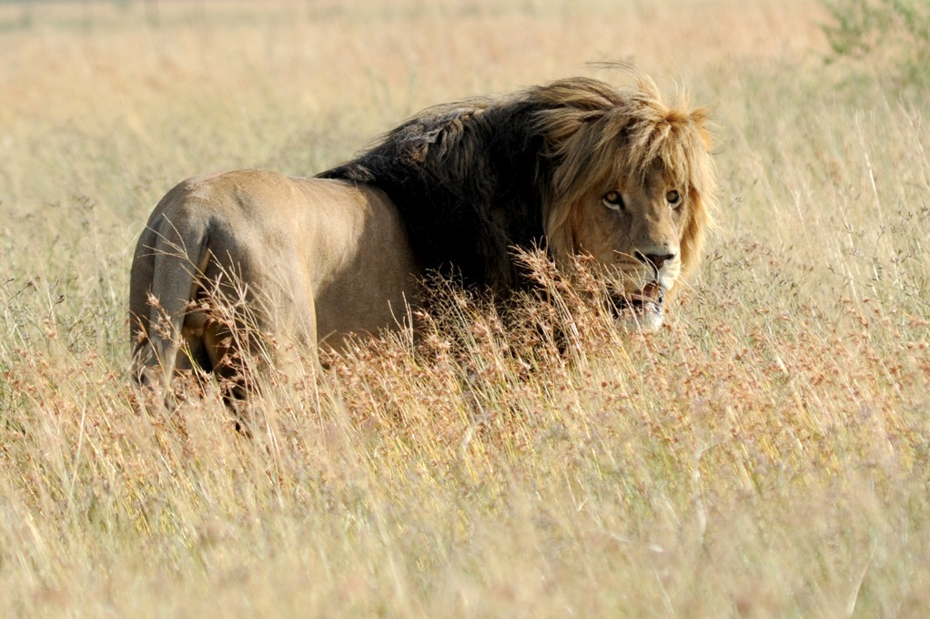 South African Captive-Bred Lion