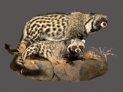 African Civet Full Mount