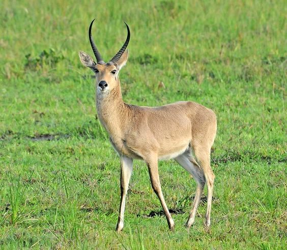 Common Southern Reedbuck