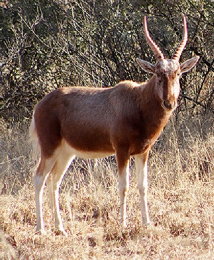Copper Blesbok