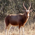 Copper Blesbok