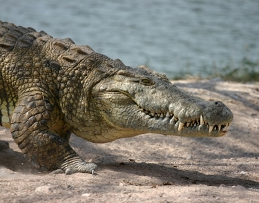 croc 1