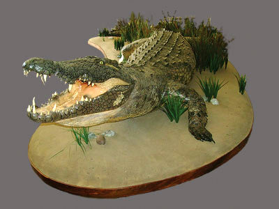 Crocodile Full Mount