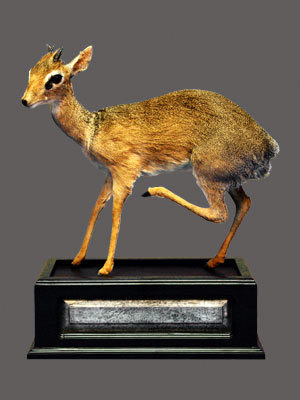 Dik-Dik Full Mount