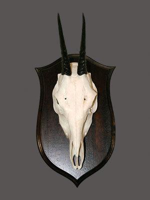 Duiker Skull Mount