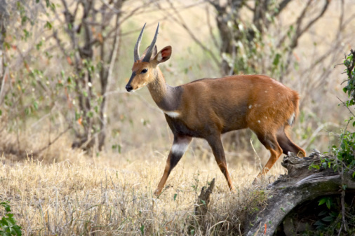 East African Bushbuck