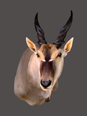 Eland Bull Shoulder Mount