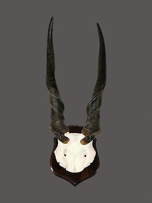 Eland Bull Skull Mount
