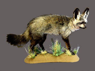 Bat-Eared Fox Full Mount