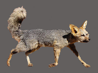 Cape Fox Full Mount