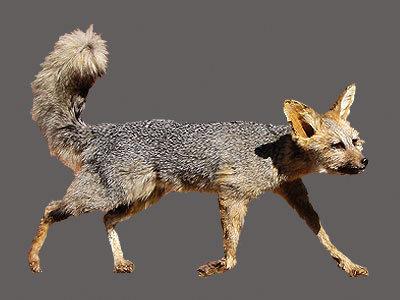 Cape Fox Full Mount
