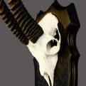 Gazelle Skull Mount