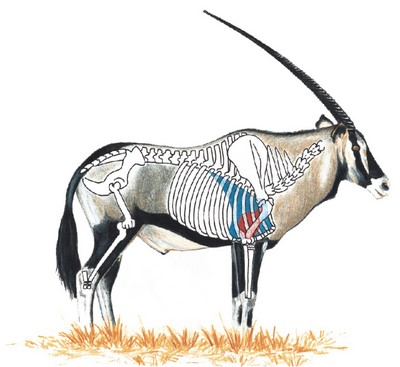 Gemsbok Shot Placement