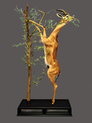 Gerenuk Full Mount