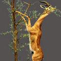 Gerenuk Full Mount