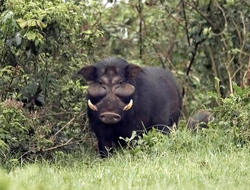 Giant Forest Hog Boar