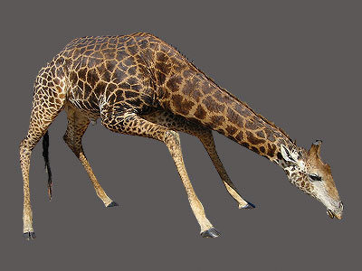 Giraffe Full Mount