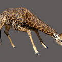 Giraffe Full Mount