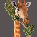 Giraffe Neck Pedestal Mount