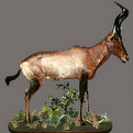 Hartebeest Full Mount