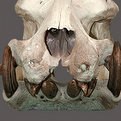 Hippo Teeth & Skull Mount