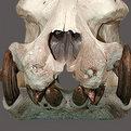 Hippo Teeth & Skull Mount