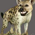 Hyena Full Mount