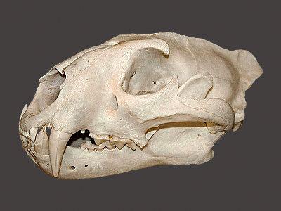 Hyena Skull Mount
