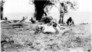 Photograph: The Lion and Lioness in Camp