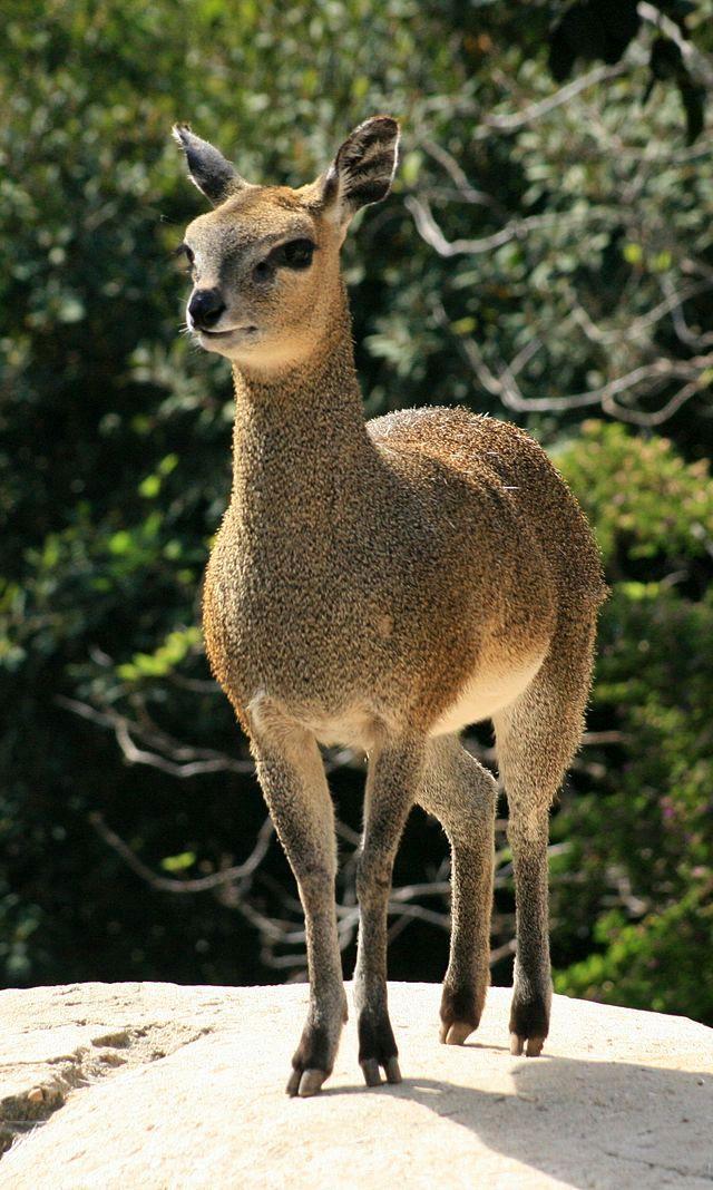 Klipspringer Female