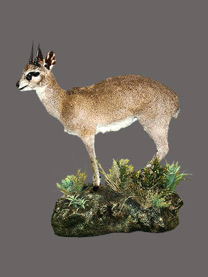 Klipspringer Full Mount