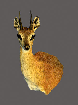 Klipspringer Shoulder Mount