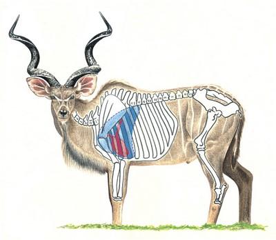 Kudu Shot Placement