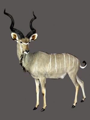 Greater Kudu Full Mount