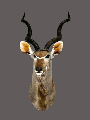 Greater Kudu Shoulder Mount
