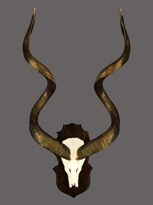 Greater Kudu Skull Mount