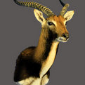 Lechwe Shoulder Mount