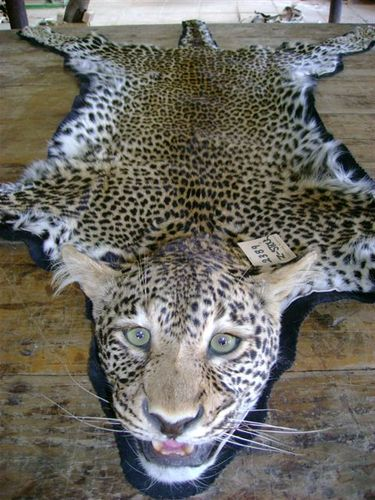 Leopard Rug Mount - Close Up