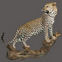 Leopard Full Mount